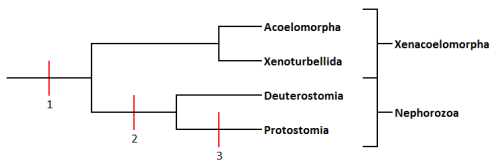 Position of Xenacoelomorpha as a basal group. It means that (1)